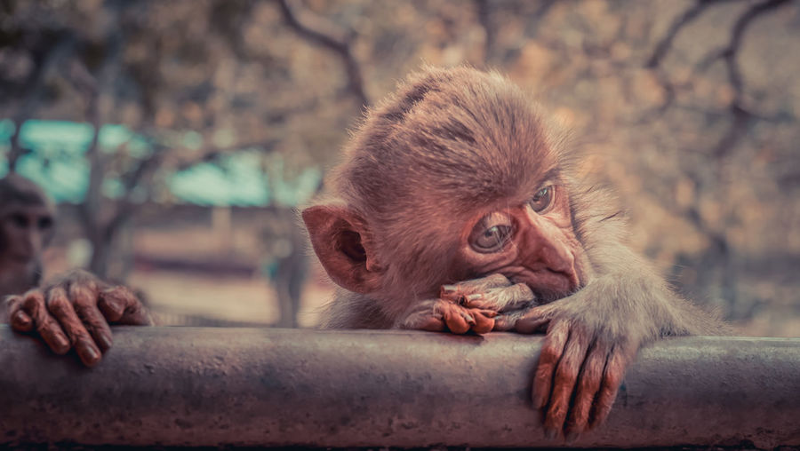 Close-up of monkey infant resting on railing