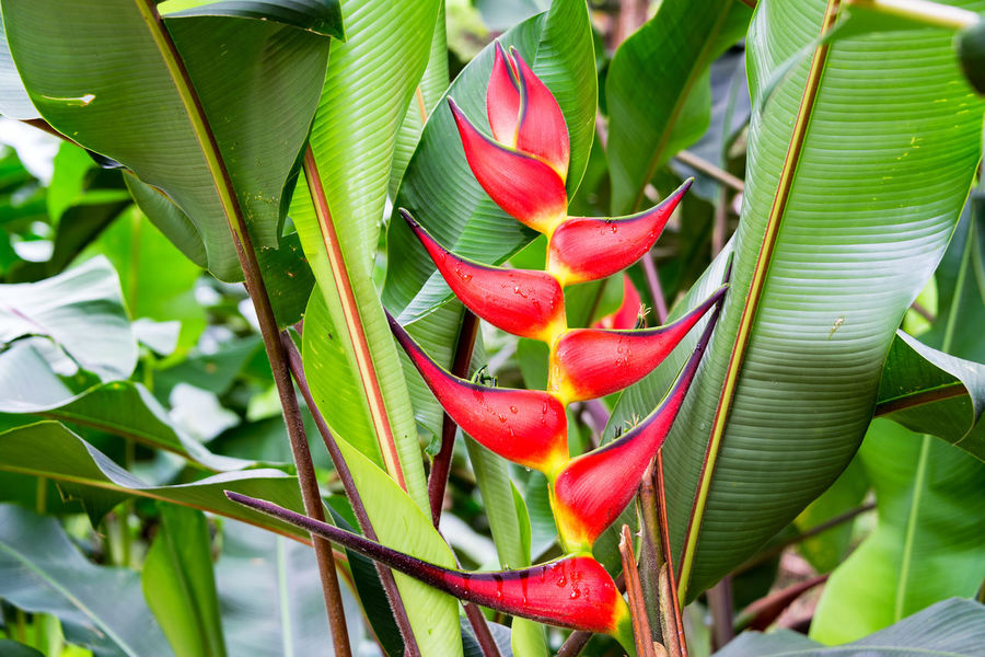Closeup of a red heliconia rostrata flower in a forest near Manizales, Colombia Colombia Green Manizales Red Travel Banana Tree Beauty In Nature Caldas Coffee Triangle Eje Cafetero Flower Green Color Heliconia Heliconia Rostrata Inflorescence Leaf Lobster Claw Flower Nature Outdoors Plant Red South America Tourism Travel Destinations Tree