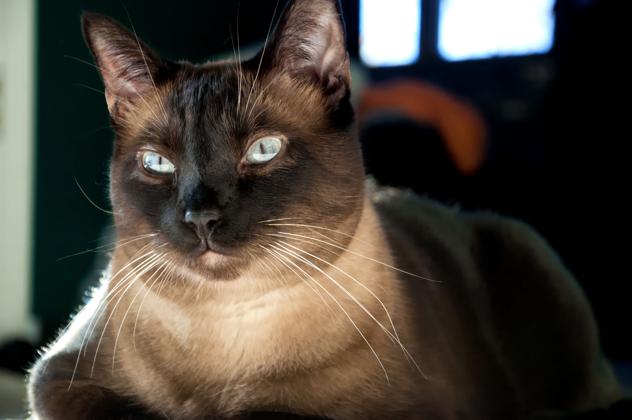 domestic, cat, mammal, pets, domestic animals, domestic cat, feline, animal themes, one animal, animal, vertebrate, whisker, close-up, no people, indoors, focus on foreground, relaxation, home interior, looking, animal body part, animal head, animal eye