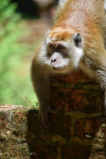 Monkey One Animal Animal Wildlife Animals In The Wild Animal Portrait Animal Head  Looking At Camera No People Nature Outdoors Close-up Animal Themes Tree Bricks Eyes Ape Day Cute Visit Ipoh Nature SittingMalaysia Ipoh Macaque