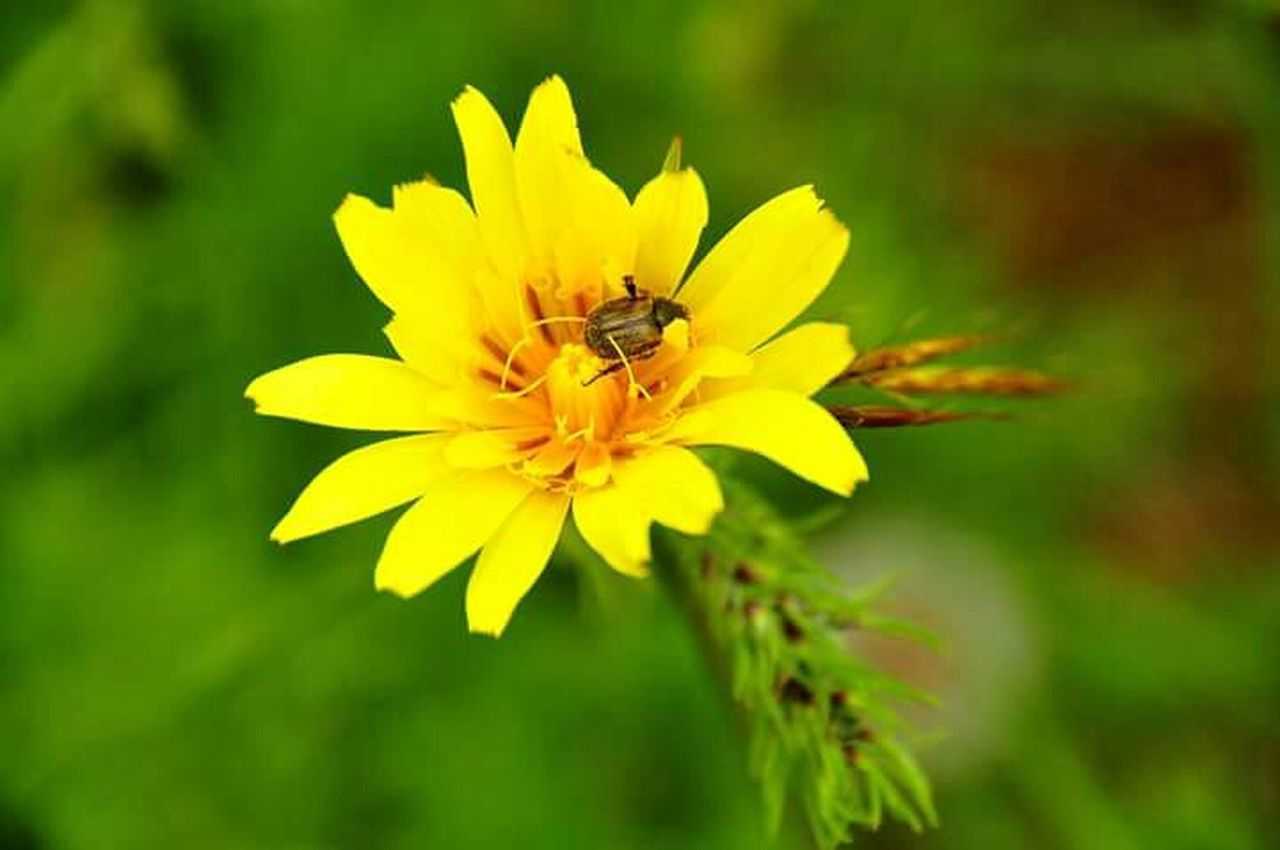 flower, insect, one animal, nature, petal, animal themes, animals in the wild, bee, growth, beauty in nature, pollination, plant, fragility, animal wildlife, freshness, outdoors, no people, flower head, yellow, day, close-up