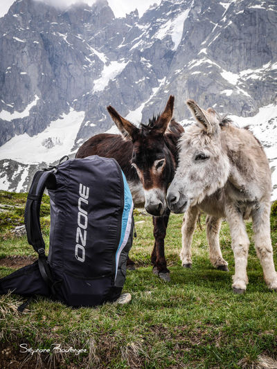 Animal Photography Animal Themes Animals In The Wild Donkey Fly Hike Hike&fly Mountains Paraglider Paragliding Parapente âne