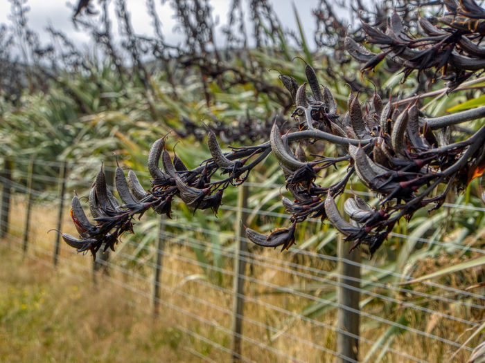 One of the most distinctive New Zealand native plants the Harakeke is actually a giant lily. These are the seed pods. The seeds are edible, the pods can be used for dyeing fabric, and the whole plant has many medicinal uses. The leaves of Harakeke can grow to more than 3 metres in length. Prized by the Maori for its versatility, harakeke leaves are used for weaving (raranga). Some harakeke have stiff, upright leaves, others are softer and for flexible. Leaf colour varies from blue-green, green, yellow-green through to bronze. Harakeke has coloured leaf margins with orange, red, brown and black being the most common. Harakeke flowers from late October through to February. Each spectacular flower stalk (kōrari) grows up to five metres tall from the centre of a fan of leaves and dies after flowering has taken place. Each individual flower has both male and female parts. Copious orange pollen forms on a stalk that sticks up above the flower tepals (the fleshy 'petals'). The pollen on a particular flower matures before the female parts below are ready to receive it. The flowers are designed to be pollinated by nectar-feeding native birds – tūī, korimako (bellbirds) and pihipihi (waxeyes) but today starlings, mynahs and honeybees are also frequent visitors. Plant No People Day Close-up Focus On Foreground Nature Growth Land Outdoors Selective Focus Fence Protection Wire Beauty In Nature New Zealand Native Plan New Zealand Harakeke Seedpods Flax