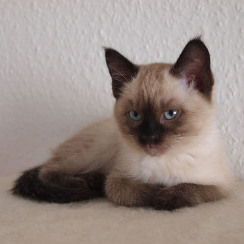 Cat Comfortable Cute Domestic Animals Domestic Cat Feline Indoors  Kitten Looking At Camera One Animal Pets Relaxing Seal Point Siamese Cat Thai Cat