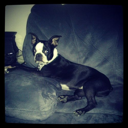 A tired puppy is a well behaved puppy. Bostonterrier Bojangles Loveswalks Sotired goodboy