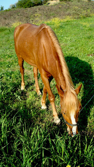 Animal Animal Themes Brown Horse Horses One Animal Standing Zoology