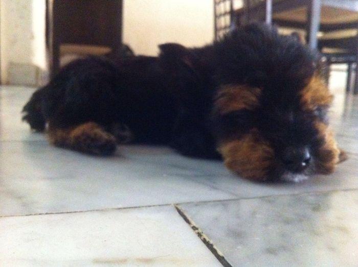 Chewbacca. ♡ Yorkie Puppy Cute Star Wars