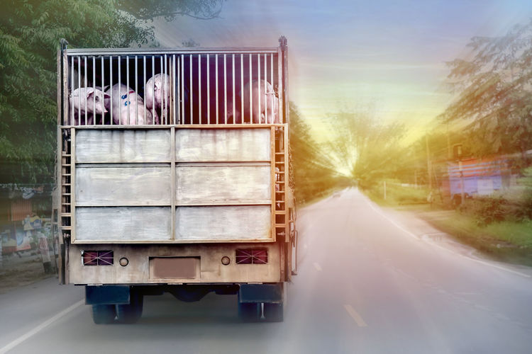 Pigs in truck on road during sunset