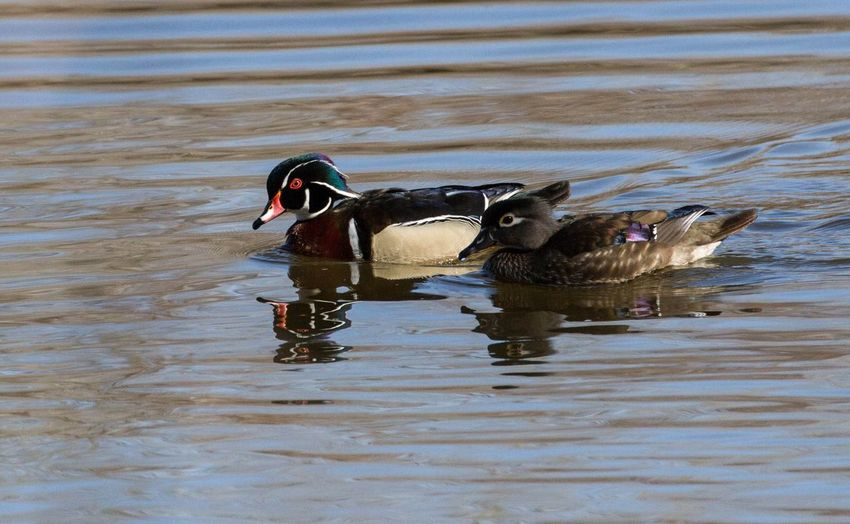 A Wood duck couple Wood Ducks Nature Photography Double Mates For Life EyeEm Selects Animal Themes Animal Water Animals In The Wild Animal Wildlife Vertebrate Bird Water Bird Swimming Duck Lake No People Nature Group Of Animals Waterfront Day Two Animals Poultry First Eyeem Photo