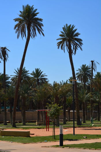 Palm Trees, Al-Dareaiyah, Riyadh, Saudi Arabia Riyadh Saudi Arabia Beauty In Nature Clear Sky Coconut Palm Tree Day Field Growth Land Nature No People Outdoors Palm Tree Plant Sky Sunlight Tall - High Tranquil Scene Tranquility Tree Tree Trunk Treelined Tropical Climate Tropical Tree Trunk