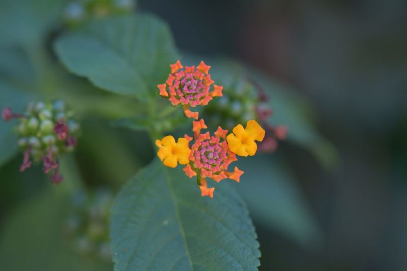 Flower Growth Beauty In Nature Nature Plant Leaf Fragility Lantana Camara Freshness Focus On Foreground Outdoors No People Day Petal Flower Head Close-up Blooming