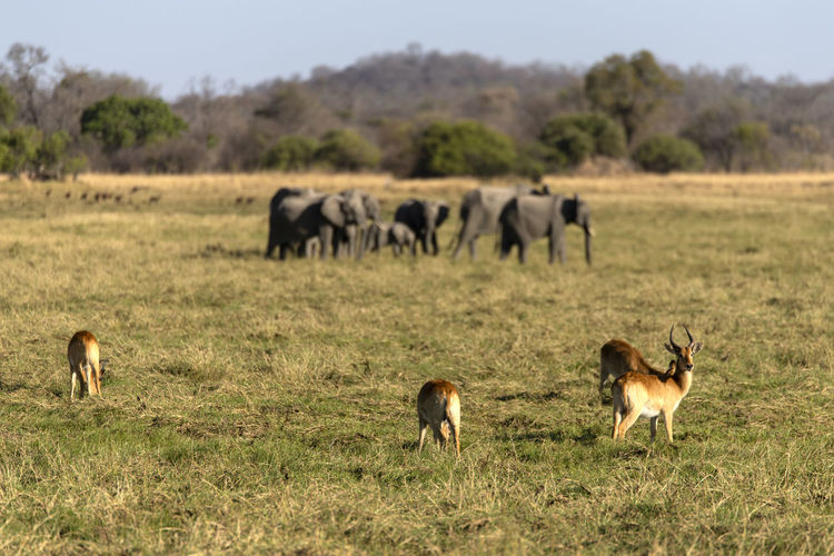 Impalas with elephants in a field