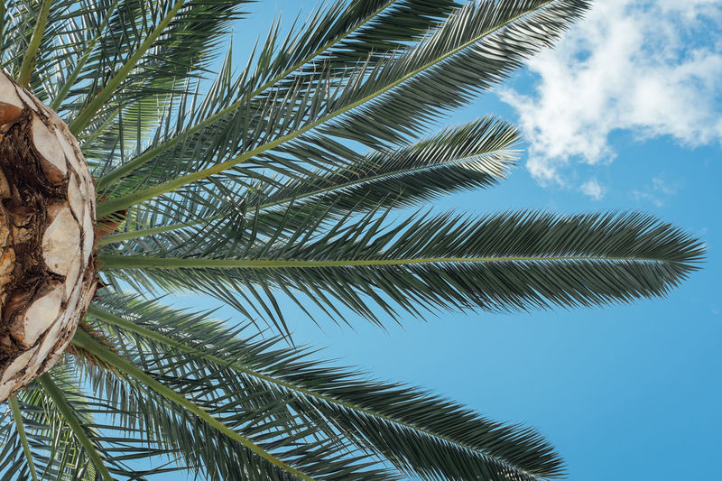 Beauty In Nature Blue Branch Cloud - Sky Coconut Palm Tree Day Green Green Color Growth Leaf Low Angle View Nature Outdoors Palm Frond Palm Leaf Palm Tree Scenics Sky Tall - High Tranquil Scene Tranquility Tree Tree Trunk Treetop Tropical Tree
