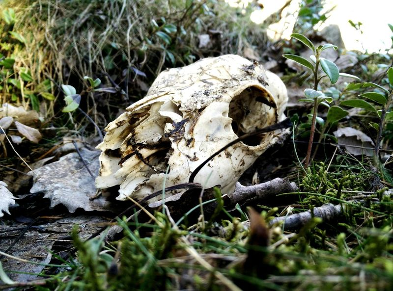 Animal Skull Animal Bone Bone  Animal Themes No People One Animal Day Outdoors Nature Close-up Animal Wildlife Animals In The Wild Grass Beauty In Death