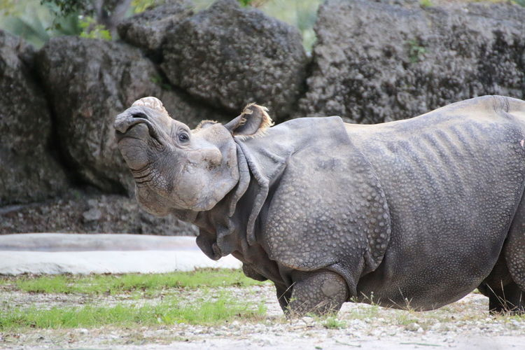 Profile View Of Hippo Walking At Shore