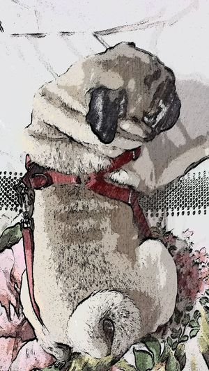 Animal Close Up Animal Lover Animal Photography Animal Themes Attitude Close-up Creativity Dog Dog Attitude Dog Expression Dog With Collar Domestic Animals Extreme Close-up Headshot Looking No People Overhead View Pug Pug Close Up Pug Life
