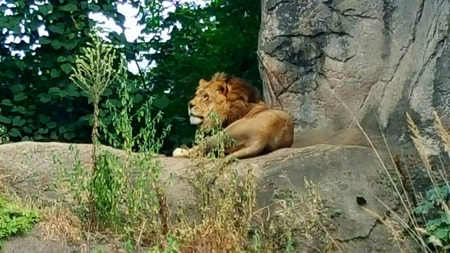 King Of The Jungle Animals In The Wild Lion Big Cat Zoo Animals  Cat Family Relaxing Habitat Top Of The Food Chain CIRCLE Of LIFE Roar Purrr Playful Kitty Feline Beautiful Wildlife Kitty Boulder Rock The Great Outdoors - 2017 EyeEm Awards