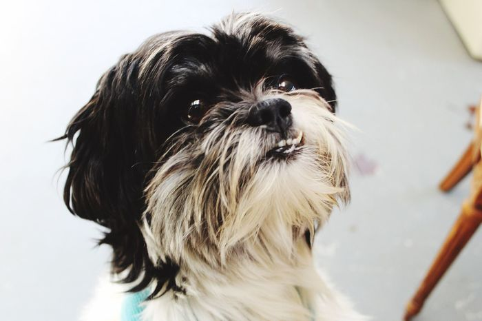 Dog Pets One Animal Animal Themes Domestic Animals Mammal Animal Hair Close-up Portrait No People Looking At Camera Indoors  White Background Day