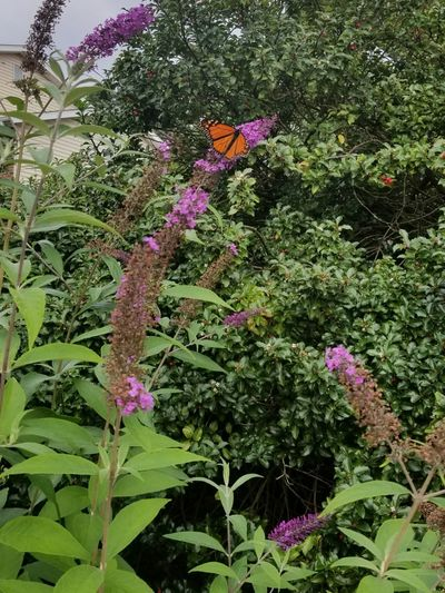 Growth Flower Plant No People Outdoors Day Purple Nature Beauty In Nature Green Color Fragility Pink Color Tree Freshness Close-up Tree Pennsylvania Butterfly Insect Flower Head Monarch Butterfly