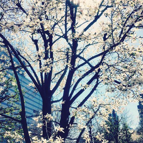 sakura Sakura Tokyo Japan Flower Cherry Blossoms