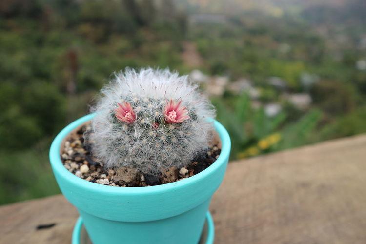 Close-up of a cactus flower pot
