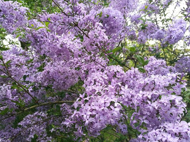 Lilac Lilac Color Lilacs Lilac Tree Lilac Flowers Lilac Bush Lilac Blossoms Flowers And Trees Flowers, Nature And Beauty Flower Collection Blossom Outdoors Day Growth Nature Blossoming  Blossoms  Smartphone Photography P9 Springtime Garden Spring Flowers,Plants & Garden Spring Flowers Garden Photography