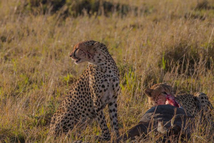 Africa Africa Safari Grassland Kenya Massai Mara Nature Wildlife & Nature Ziseetheworld Cheetah