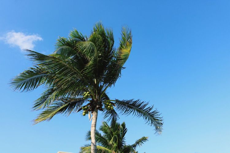 The wind Low Angle View Growth Tree Palm Tree Nature Beauty In Nature Sky Tranquility Clear Sky Day Outdoors Treetop Scenics Palm Frond Playadelcarmen Tranquility Nature Freedom Clear Sky Wind Blue Enjoyment The Great Outdoors - 2017 EyeEm Awards