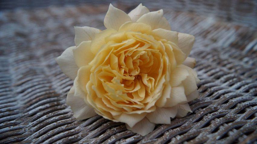 Beauty In Nature Close-up Flower Freshness Flowering Plant Plant Petal Nature Rosé
