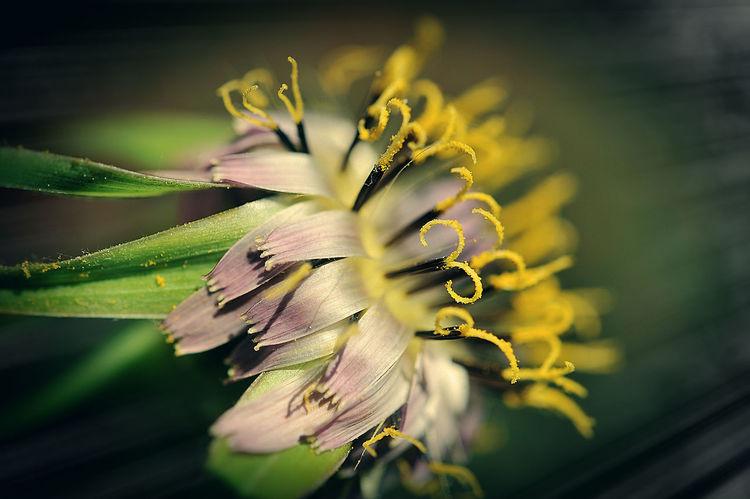 NIKON D700 Macro Photography Nature Photography Pistil And Stamens Plant Beauty In Nature Close Up Close-up Flora Floral Photography Flower Head Flowering Plant Inflorescence Macro Petal Pollen Salsify Springtime