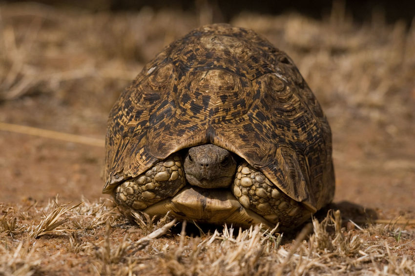 Animal Themes Animal Wildlife Animals In The Wild Close-up Day Grass Nature No People One Animal Outdoors Reptile Tortoise Tortoise Shell