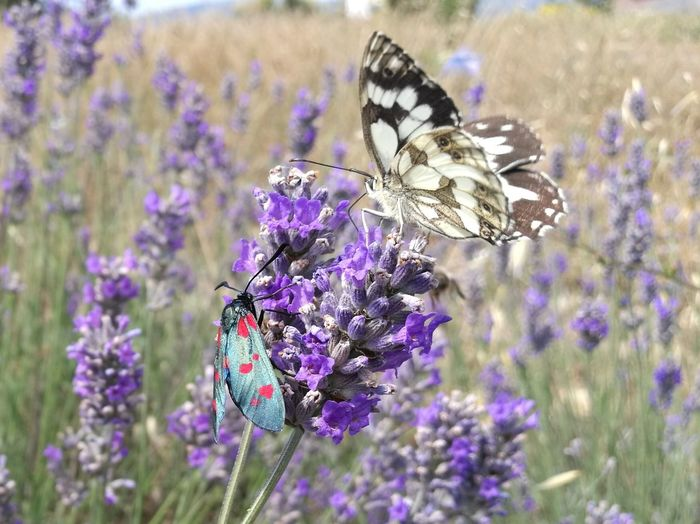 Flower Flower Head Perching Butterfly - Insect Scented Insect Purple Lavender Lavender Colored Close-up Butterfly Wild Animal