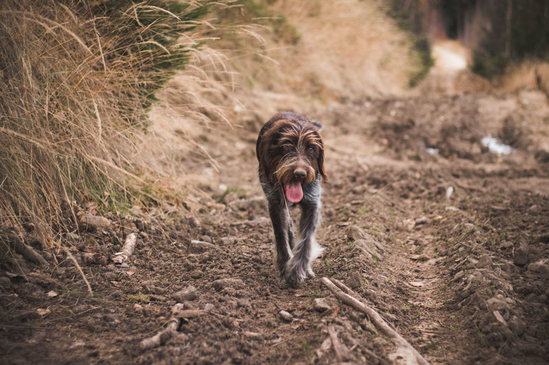 Stray dog bohemian wire-haired pointing griffon crosses forest road in wilderness, smiling joyfully