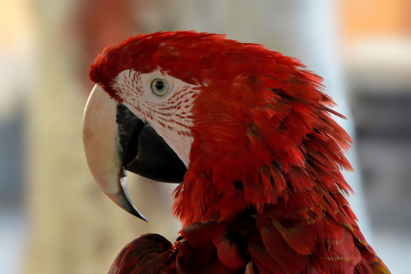 Animal Animal Body Part Animal Eye Animal Head  Animal Themes Animal Wildlife Animals In The Wild Beak Bird Close-up Day Feather  Macaw Nature No People One Animal Outdoors Parrot Red Scarlet Macaw Side View