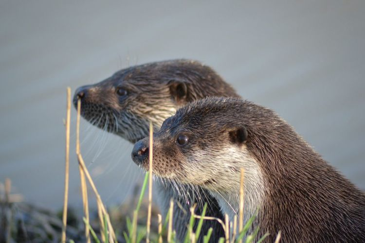 Close-Up Of Two Sea Otters