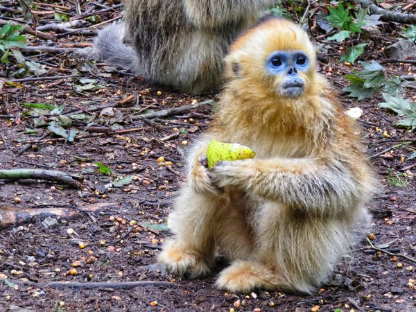 Eating Animal Themes Animal Wildlife Animals In The Wild China Close-up Day Golden Monkey Mammal Monkey Nature No People One Animal Outdoors Sitting Snub Nosed Golden Monkey