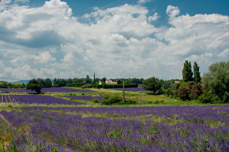 Purple flowers blooming on agricultural field against cloudy sky