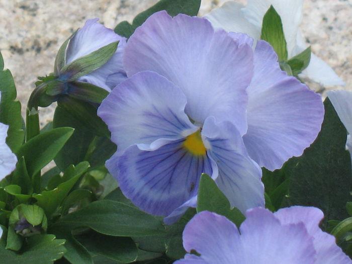 Bluebottle Blue