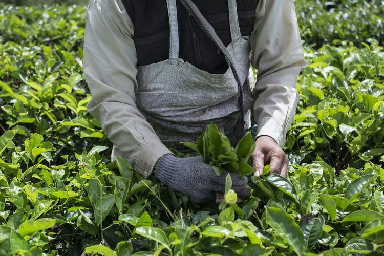 Midsection Of Farmer Picking Fresh Tea Leaves On Farm