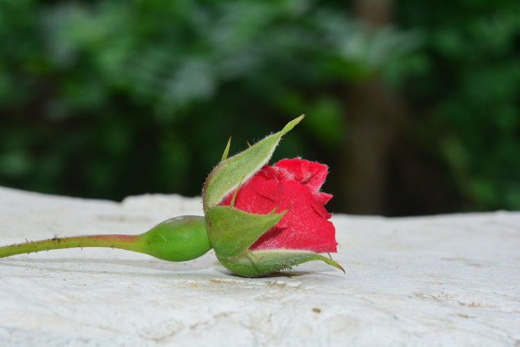 Red rose on a white wall before green nature