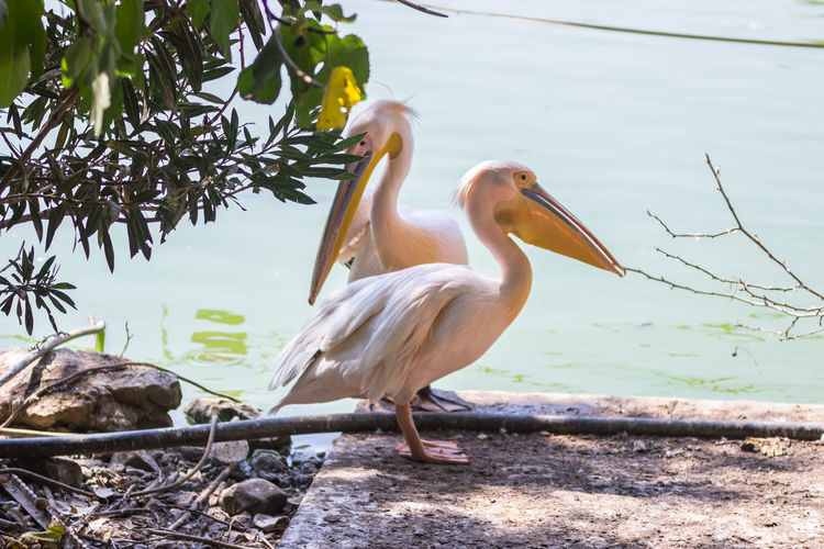 Pelicans by lake