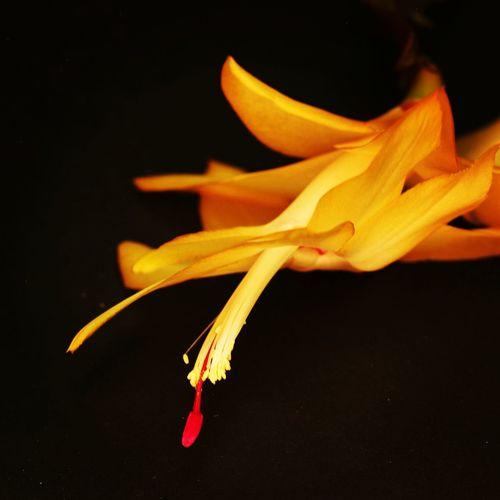 Succulents, Agaclar, Cacti, Macros,#closeups, Flowers, Cicek, Plants, Photos, Photographers, Photography, Instagram, Like4like, Likeforlike, Canon,  Instagram,#nature, 7d, Wonderful,#amazing, Awesome, Followme, Instagood, Shots, Art, Arts Shot, Black Background Petal Close-up Blooming Plant Life Single Flower Blossom Botany In Bloom