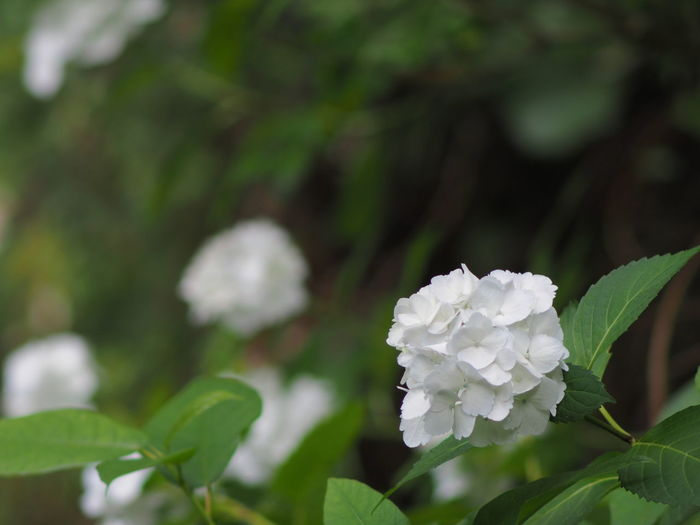 Leaf Growth Plant Part Beauty In Nature Plant Freshness Flower White Color Flowering Plant Vulnerability  Petal Close-up Fragility Nature No People Focus On Foreground Flower Head Day Green Color Inflorescence Outdoors Hydrangea White Flower Olympus Olympus OM-D EM-1 Zuiko Saga Japan