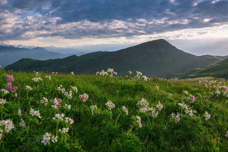 Flowering plants on field by mountains against sky