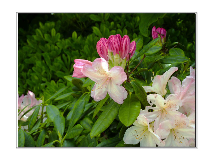 Flowers In The Garden 3 Azaleas Rhododendrons Ericaceae Fabaceae Schrubs Small Trees Flowers In Bloom Flower_Collection Early Spring Meeks Mansion Cherryland, Ca. Garden _collection Garden Garden _lovers Nature Beauty In Nature Nature_collection Blossoms  Flowering Schrubs Botany Horticulture Garden Photography Landscape_photography Landscape_Collection Landscape