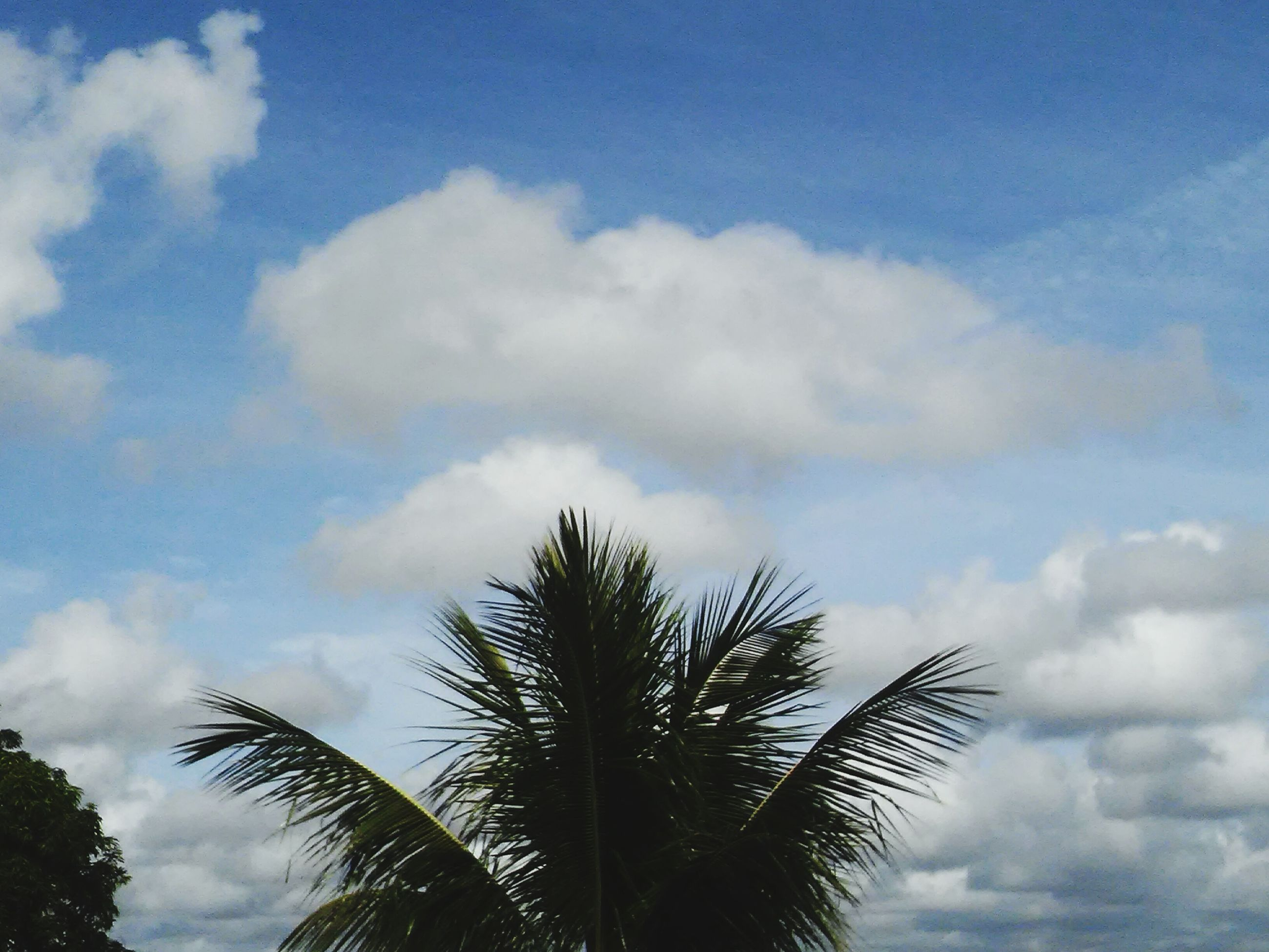 low angle view, sky, cloud - sky, tree, palm tree, tranquility, nature, growth, beauty in nature, cloud, cloudy, blue, scenics, tranquil scene, silhouette, day, outdoors, no people, high section, leaf