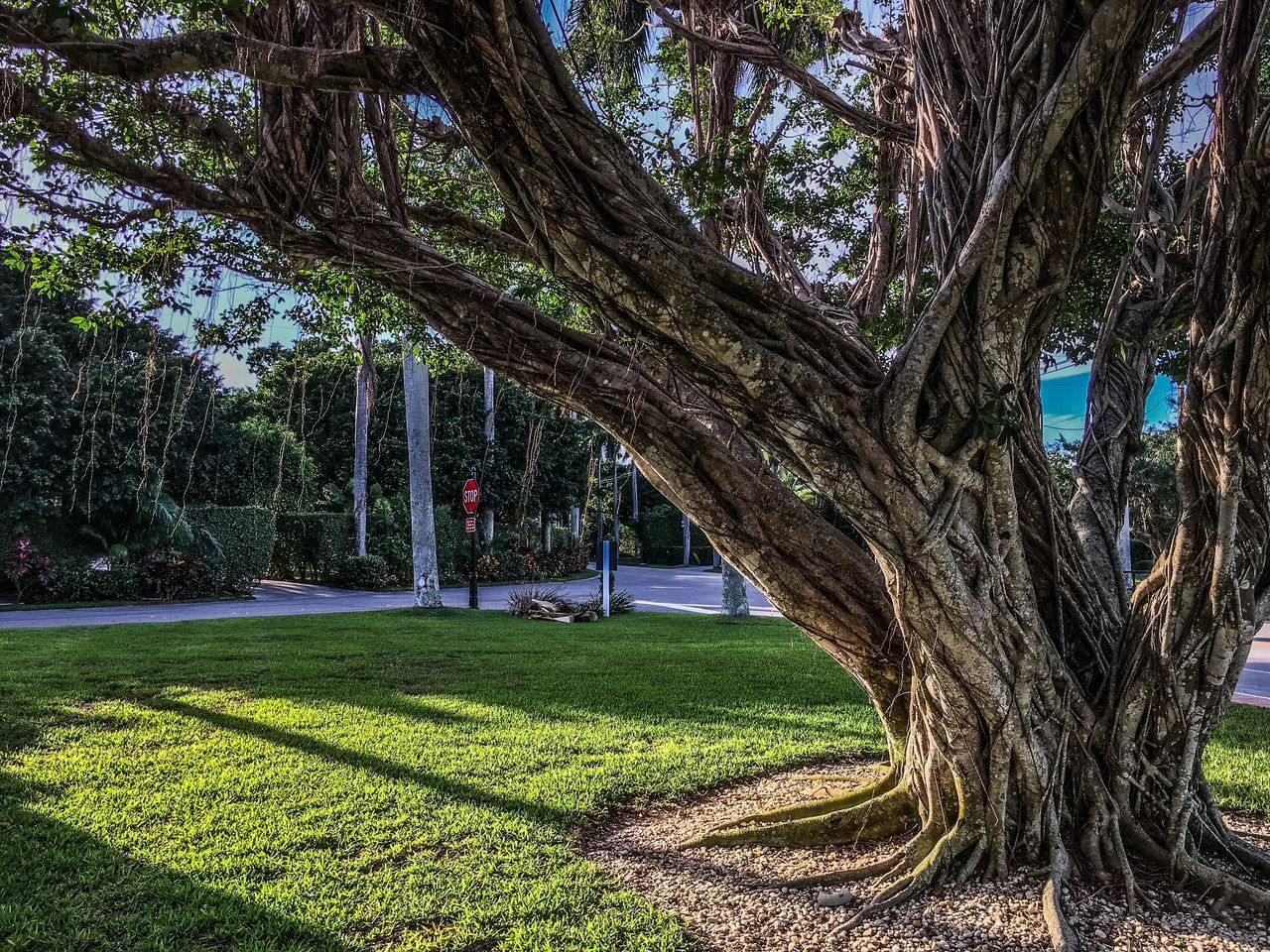tree, tree trunk, grass, growth, park - man made space, nature, green color, day, outdoors, tranquility, beauty in nature, branch, no people