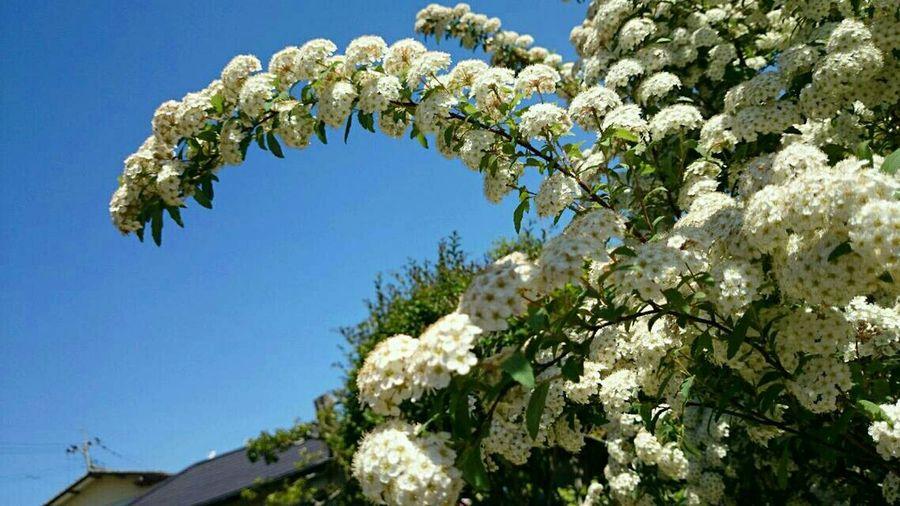 Spiraea Flower Blue Sky Sunny Day White Flower