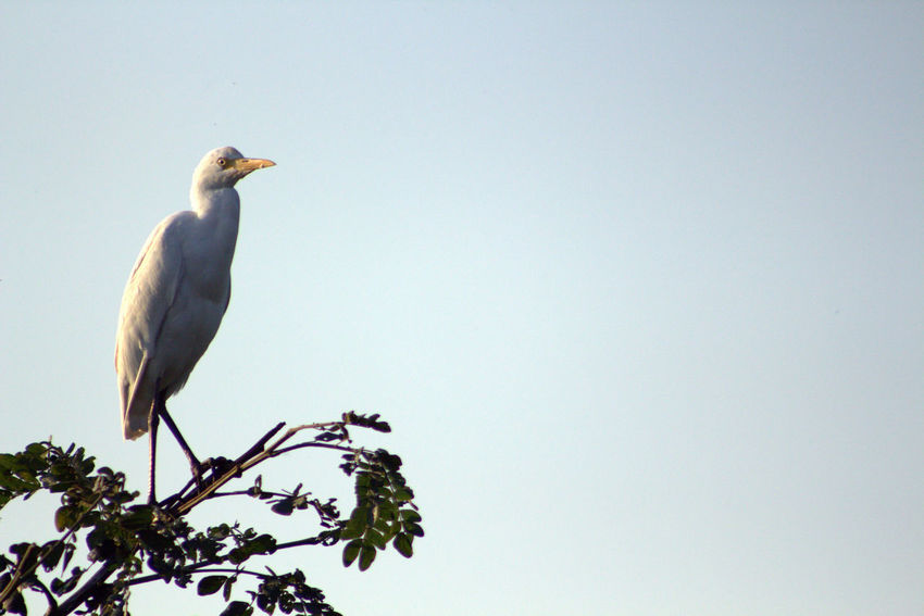 cattle egret Animal Themes Animal Wildlife Bird Bird Photography Bird Photograpy Bird,  Branch Cattle Egret Clear Sky Day Nature No People One Animal Outdoors Perching Tree