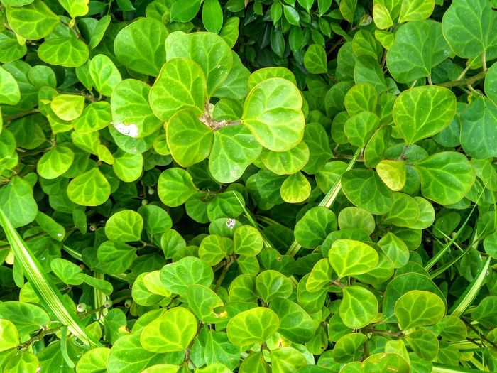 green leaves nature wall background Plant Part Leaf Backgrounds Full Frame Close-up Plant Green Color Lush - Description Lush Foliage Greenery Plant Life Photosynthesis Blossoming  Spring Countryside Relaxed Moments Tissue Delicate Woods Flora Green Leaves Vegetation Fern Lush Frond Botany Leaf Vein Branch